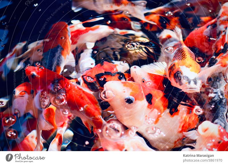 Fütterung von Koi-Fischen Wasser Teich orange Farbfoto Aquarium Tier Schwimmen & Baden gelb Außenaufnahme rot Goldfisch