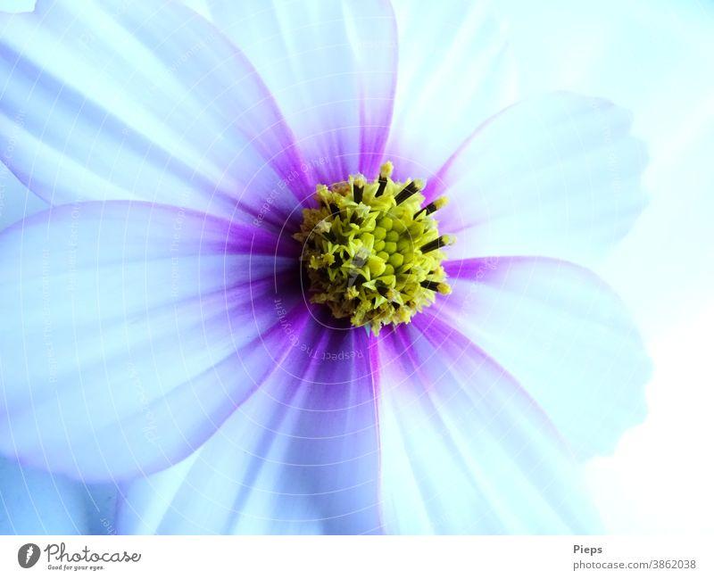 Weiße Cosmeablüte mit pupurnen Akzenten Blüte Blume Detailaufnahme Natur Blütenblatt Pflanze Schmuckkörbchen Vergänglichkeit zarte Farben Geburtstag Geschenk