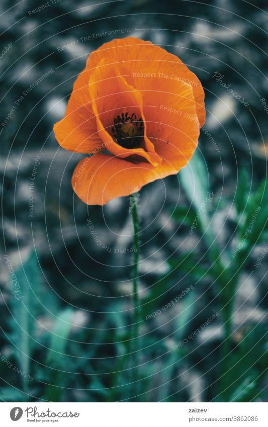 Nahaufnahme einer isolierten orangefarbenen Blüte von Papaver rhoeas Blume Überstrahlung Blütenblätter Botanik botanisch Vegetation geblümt Natur natürlich