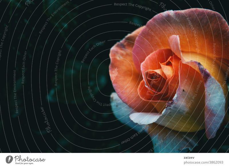 Makro einer Aprikosenrose Roséwein Rosaceae ornamental Gärten Schnittblumen wirtschaftlich Duftwasser essbar Vitamin Blume Blüte Überstrahlung Blütenblätter