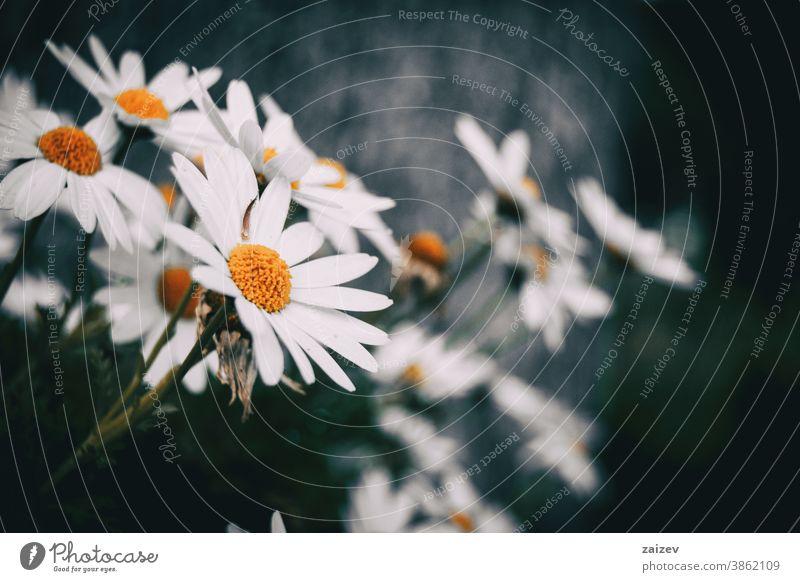 Nahaufnahme einer weißen Leukanthemenblüte eines Straußes leucanthemum Blume Blüte Überstrahlung Blütenblätter Botanik botanisch Vegetation geblümt Natur
