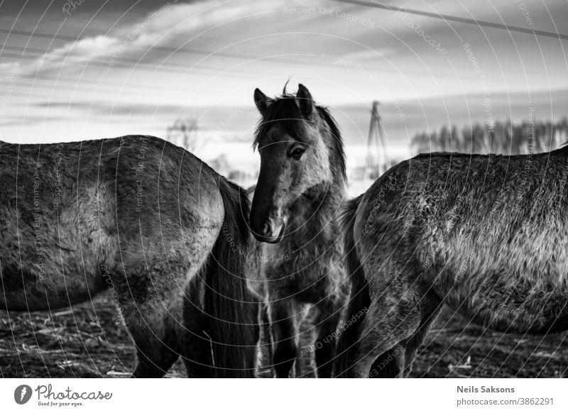 Wildpferde, die unter den Stromleitungen posieren Abenteuer Tier konik Schönheit Farbe farbenfroh tarpan Land Morgendämmerung heimisch dramatisch verträumt