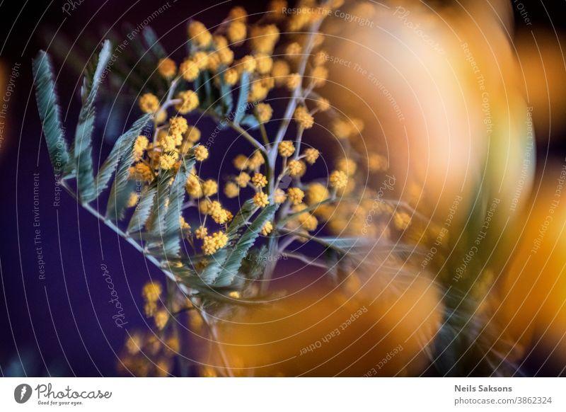 trockene gemeine Tensenblüte, wilde Heilpflanze auf der Wiese Waffen schön Schönheit Blütezeit Überstrahlung Botanik Kuh Bodenbearbeitung Feld Flora Blume