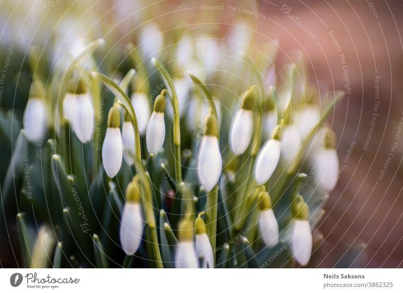 Nahaufnahme von frischen Schneeglöckchen (Galanthus nivalis), die im Frühling blühen. Feld mit Wildblumen. Hintergrund schön Blütezeit Überstrahlung botanisch