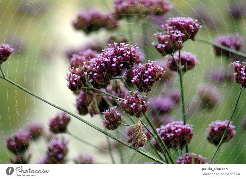 Blüten Natur Blume grün Blatt mehrere violett viele Trockenblume