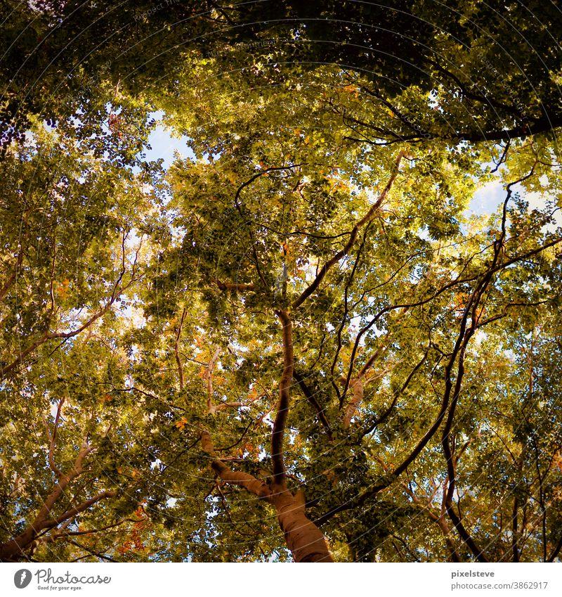 Blick von unten in Baumkronen Herbst Laubwald laubwälder Baumreihe Blatt Bäume Wald waldgebiet baumkronen Mischwald Waldlichtung Waldrand Blätter Blätterdach