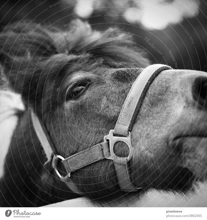 Pony auf einer Koppel Ponys ponyfrisur Ponyhof ponyreiten ponyweide Ponyfohlen Pferd Pferdekopf Pferdestall Reitsport Pferdezucht Pferderücken Reiten reitend