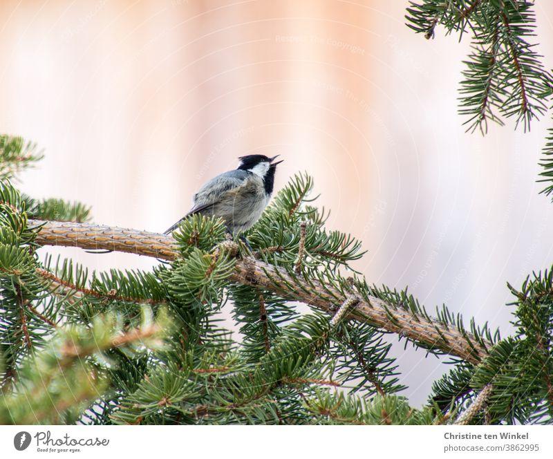 Tannenmeise sitzt auf dem Zweig einer Tanne und singt Parus Ater singen Singvogel Wildvogel Vogel Natur Tier klein 1 Tierporträt Wildtier Ornithologie Winter
