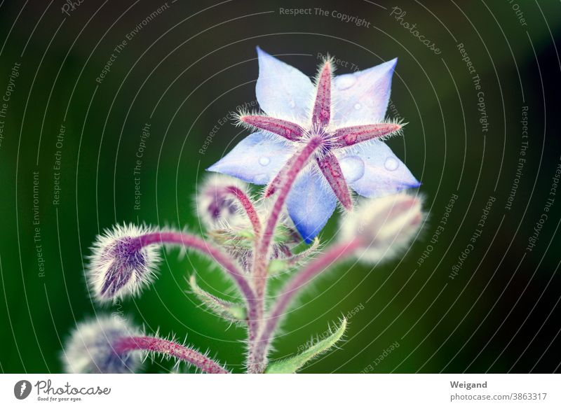 Boretsch Blüte Kräuter & Gewürze blau Makroaufnahme Wassertropfen Tropfen Regen Pflanze nass Detailaufnahme Außenaufnahme Frühling Blume