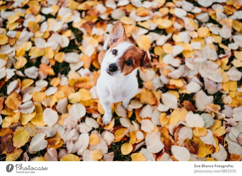 süßer Jack-Russell-Hund im Freien auf gelbem Blatthintergrund. Herbst-Saison jack russell gelbe Blätter Park Terrier fallen braun Kragen anleinen Sitzen