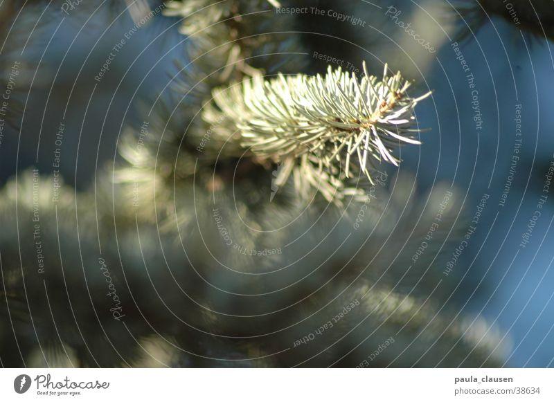 Nadelbaum Baum Winter Eis Zweig Tannennadel