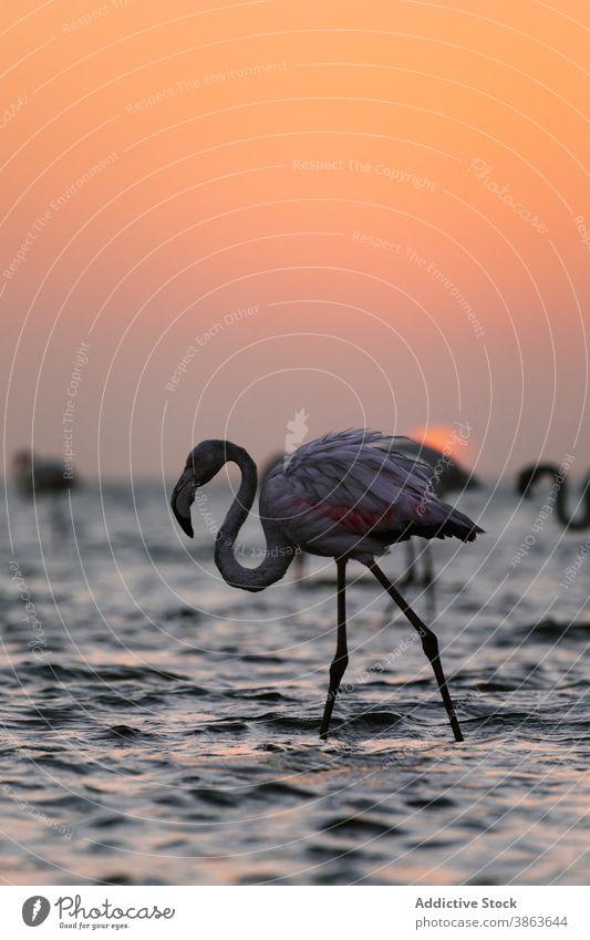 Anmutiger Flamingo im See bei Sonnenuntergang rosa Vogel Gefieder Wasser Dämmerung Himmel Savanne Natur ruhig Windstille Rippeln Abenddämmerung malerisch Tier