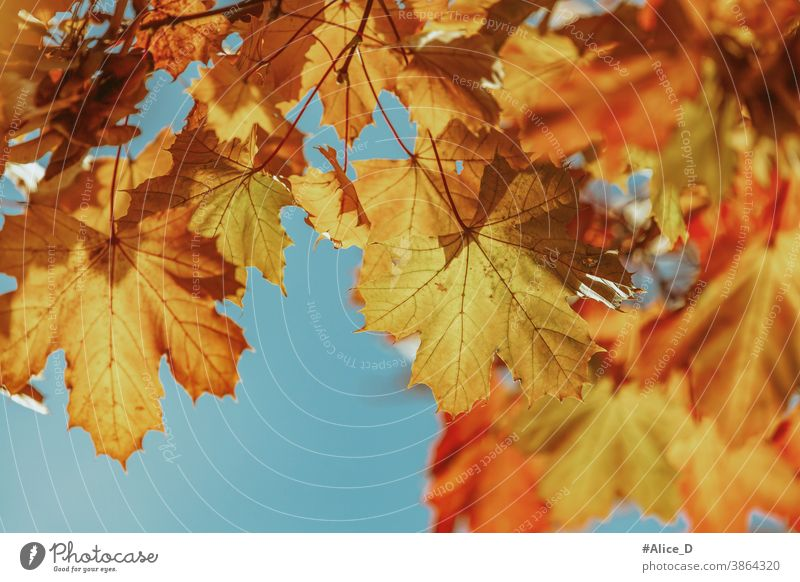 Herbst bunte Ahornblätter vor blauer Himmel backdrop wallpaper autumnal november down image surface golden colour leaves sunny textured design sky blue day