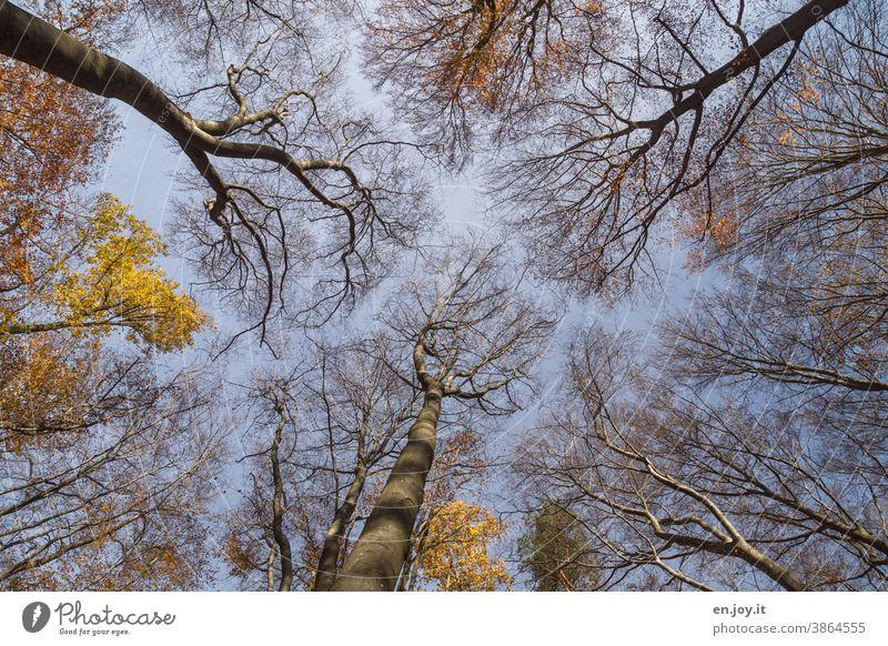 Herbstwald mit wenig Laub dafür mit kahlen Ästen in der Froschperspektive unter blauem Himmel Bäume Wald Buchenwald Laubbaum Herbstlaub Laubwerk kahle Bäume