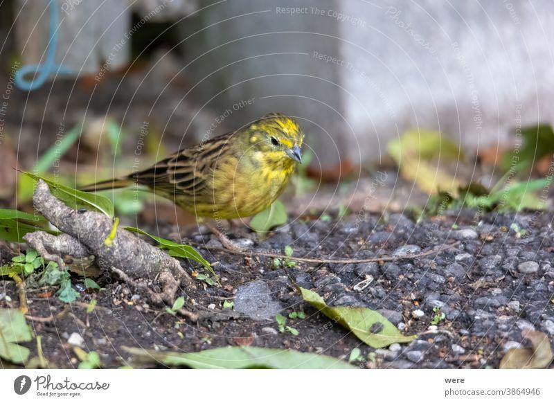 Goldammer sitzt auf dem Waldboden und sucht nach Nahrung Emberiza-Zitrinella Wintervogel Tier Vogel Textfreiraum kuschlig kuschelig weich Federn Stock Fliege