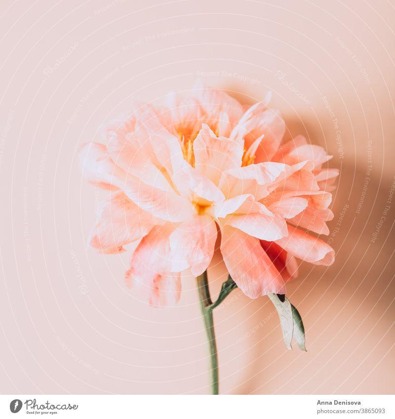 Erstaunlich schöne rosa Pfingstrose auf hellrosa Hintergrund. Card Concept, Kopierplatz für Text Haufen Blume Blumenstrauß Pastell geblümt Blütenblätter Tapete