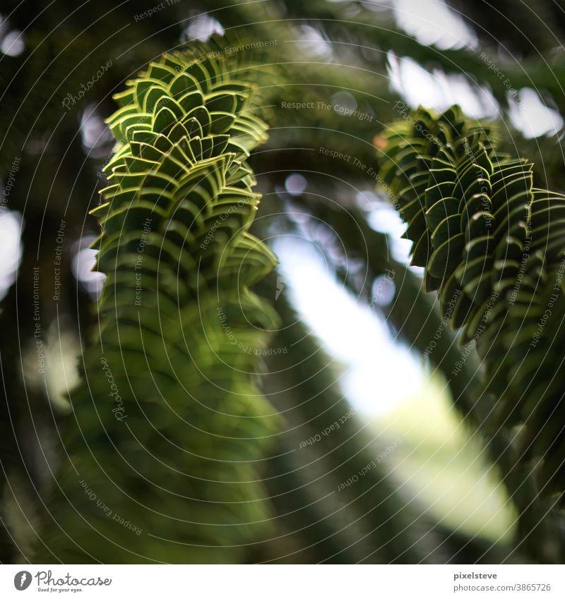 Araucaria araucana – Chilenische Schmucktanne araucária schmucktanne chilenisch Südamerika Baum Baumkrone Tanne Tannenzweig Tannennadel Tannenbaum tannengrün
