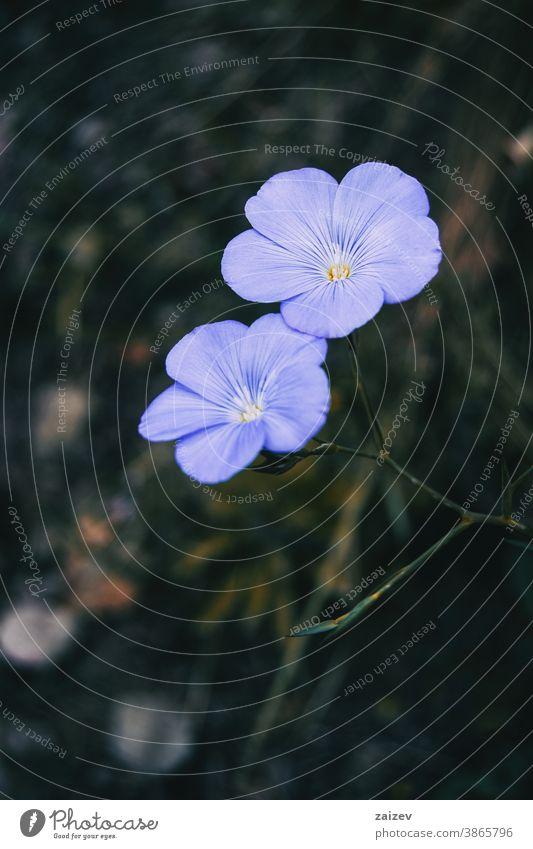 Nahaufnahme von zwei blauen Blüten von Linum narbonense Linumkohlenstoff Natur Vegetation natürlich Blume geblümt blühte Botanik botanisch Blütenblätter