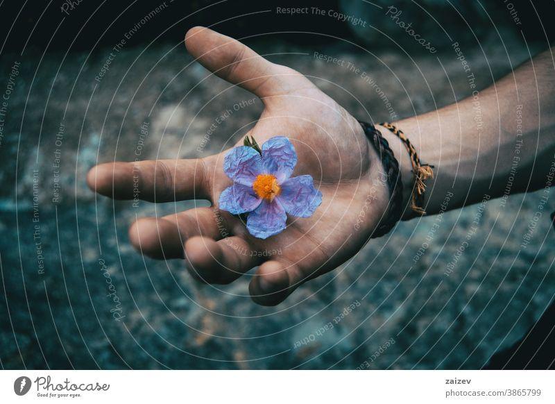 Eine menschliche Hand hält eine bläuliche Blume von Cistus albidus Natur Vegetation natürlich Blüte geblümt blühte Botanik botanisch Blütenblätter Überstrahlung