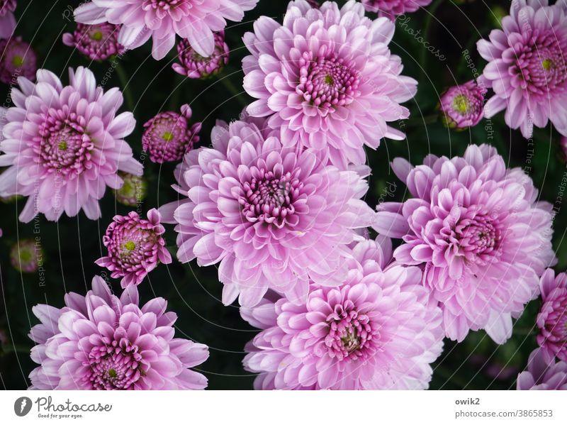 Blütezeit Blume Natur filigran Blühend Umwelt Nahaufnahme Außenaufnahme Detailaufnahme Pflanze Wachstum Leben natürlich frisch echt Duft Frühling Blütenblätter