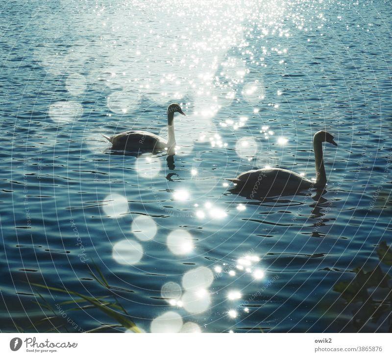 Schwerelos Schwan Tier Wasser Teich Wellen Schönes Wetter Natur Umwelt See Schwimmen & Baden Bewegung elegant Zusammensein Gelassenheit Zufriedenheit Idylle