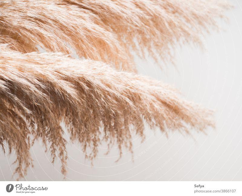 Trendiger botanischer Hintergrund mit Pampasgras Gras Pflanze Innenbereich Boho getrocknet sehr wenige Design geblümt Natur neutral Herbst heimwärts Ast Farbe