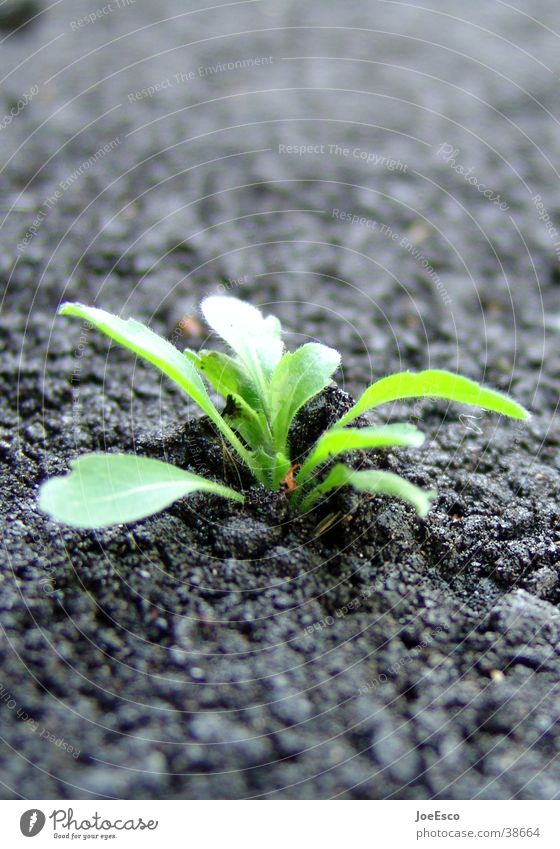 power of nature Natur Pflanze Straße Kraft Umwelt Erfolg Beginn Energiewirtschaft Wachstum Bodenbelag Mut Löwenzahn brechen Teer einrichten Grünpflanze