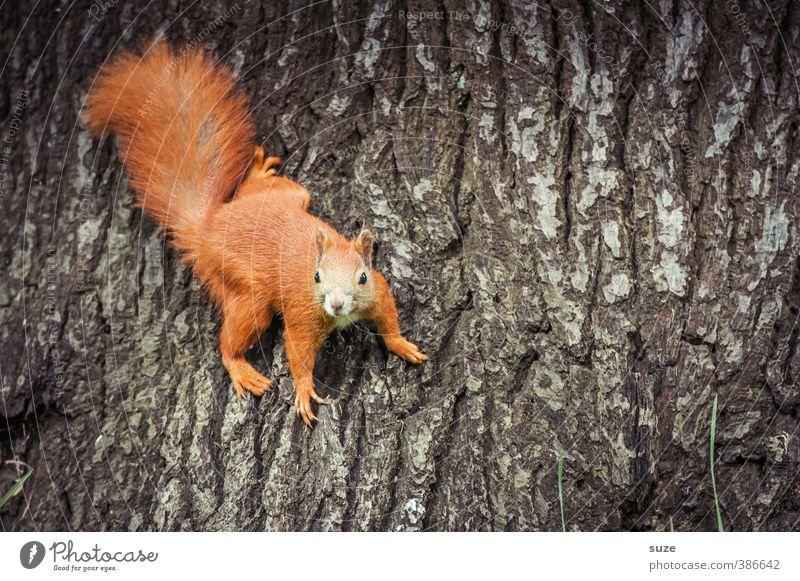 Stammgast Umwelt Natur Baum Tier Wildtier 1 festhalten hängen klein lustig natürlich niedlich braun rot Freude Neugier Baumstamm Baumrinde Fell Eichhörnchen
