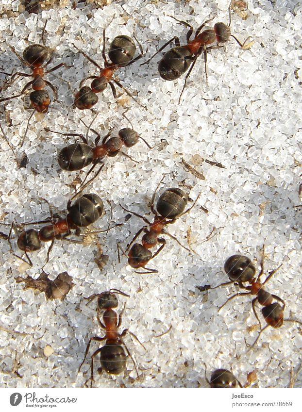 waldameisen inferno Umwelt Wildtier außergewöhnlich Tiergruppe Insekt Zucker Ameise