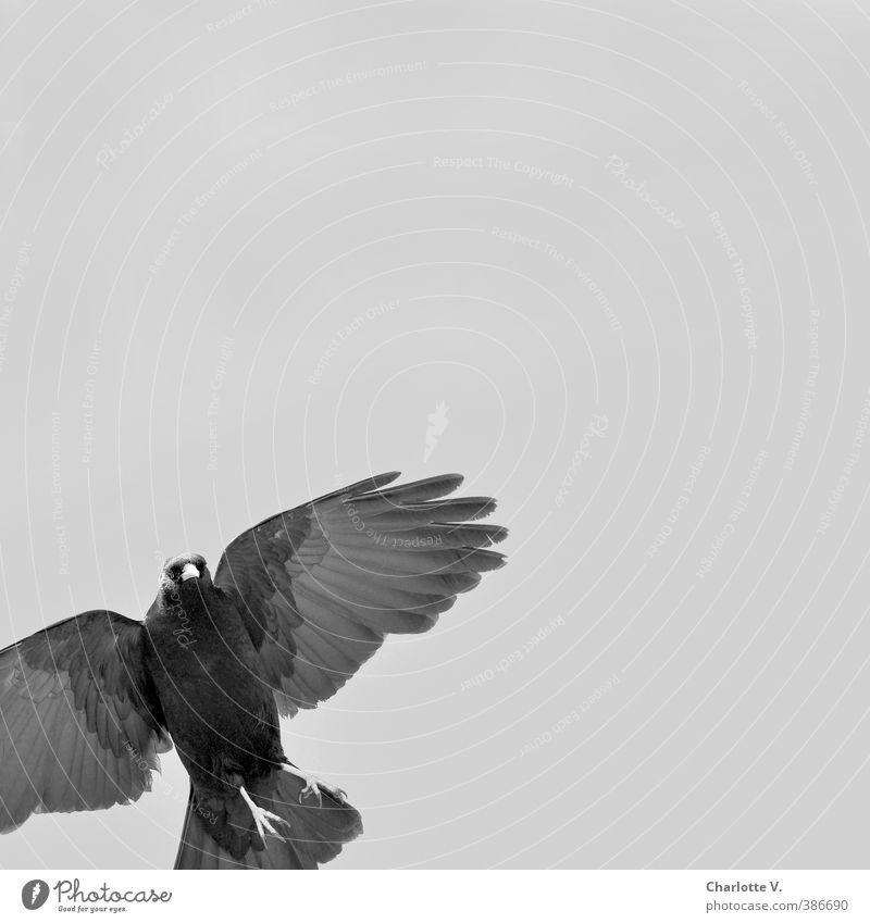 Hey, haste mal ´nen Krümel? schön weiß Tier schwarz grau Vogel fliegen Kraft Wildtier elegant hoch ästhetisch Feder Coolness beobachten Flügel