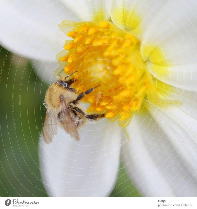 HAPPY BIRTHDAY PHOTOCASE - Wildbiene sammelt Pollen in der gelben Mitte einer weißen Dahlienblüte Biene Insekt Blume Blüte Nektar Sommer Makroaufnahme Pflanze