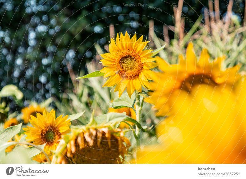 sonntagssonnenschein Sonnenschein Hoffnung Wiese Nahaufnahme Sonnenblume Pollen schön Landschaft Garten prächtig Sonnenlicht Blütenstaub Wärme Umwelt