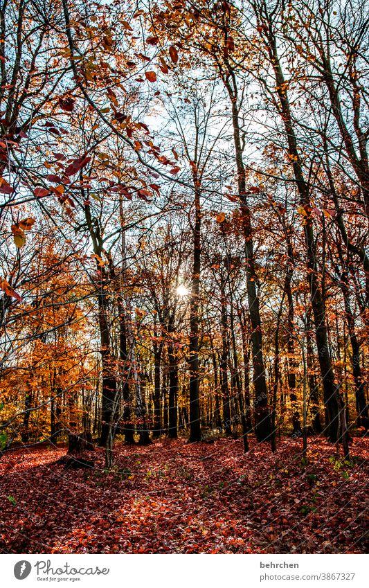 waldliebe Herbstlandschaft Herbstwetter Blätter Herbstwald Sonnenstrahlen Idylle Blauer Himmel herbstspaziergang Herbstfärbung herbstlich Herbststimmung