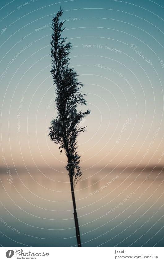 Schilfgras an einem kalten sonnigen Wintertag am See - der Himmel leuchtet blau und orange in der frühen Abenddämmerung Schilfrohr Schilfhalm Gras Pflanze