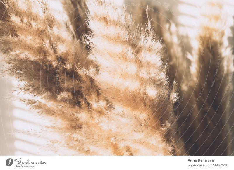 Getrocknetes Pampas-Gras Pampasgras Requisiten Schilfhalm Trockenblumen geblümt Ordnung Fenster Blumenstrauß Pflanze getrocknet Design natürlich Natur