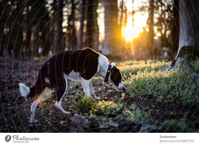 Hund schnuppert im Wald, Gegenlicht und güldene Sonne am Abend schnuppern gold Baumstämme Moos schwar-weiß Mischling schön Tier Haustier Natur Außenaufnahme