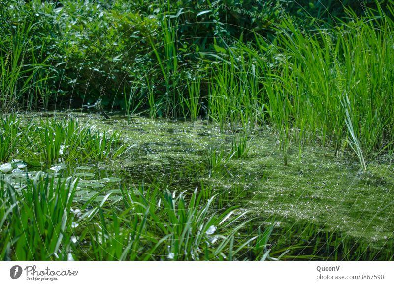 Teich mit Gras und Seerose, in grün Gartenteich Wasser Natur Pflanze Frosch Sommer Wildtier Umwelt Schwimmen & Baden Farbfoto Kröte Tag Tier Umweltschutz
