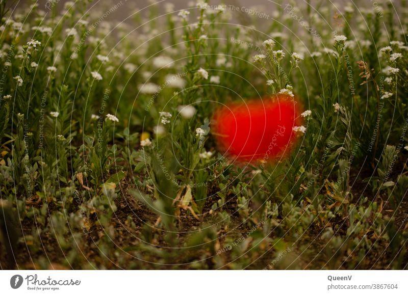 Weiße Blumen in Hintergrund mit unscharfer Mohnblume in Vorgergrund rot weiß Pflanze Pflanzen Natur Stadtleben Stadtnatur Sommer Mohnblüte Blüte Blühend