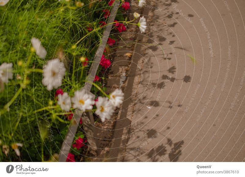 Blumen auf der Straße mit ihren Schatten Silhouette Gänseblümchen Margerite Stadtleben Geranien rosa Gras weiß Kraut Wiese Natur Frühling Sommer Pflanze grün