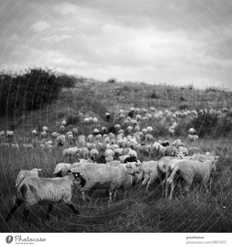 Schafe in einer Hügellandschaft Schaffell Hirte Schafherde Bauernhof schafsfell schafsherde Schafskäse Gruppe Gruppenzwang gemeinsam Schafezählen Landschaft