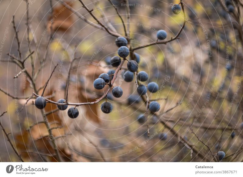Die Schlehen sind reif Natur Pflanze Strauch Schwarzdorn Beeren Ast genießbar Heilkraft Herbst Blau Braun Lila