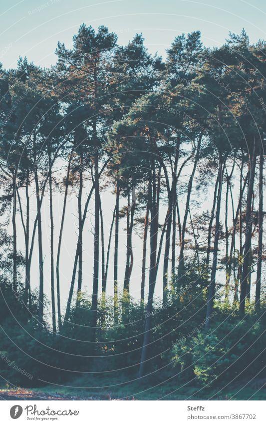 Baumreihe am Wegesrand Silhouette Lichteinfall Lichtschein Lichtstimmung Bäume besonderes Licht Fichte Nadelbäume Kiefernwald dunkelgrün poetisch romantisch
