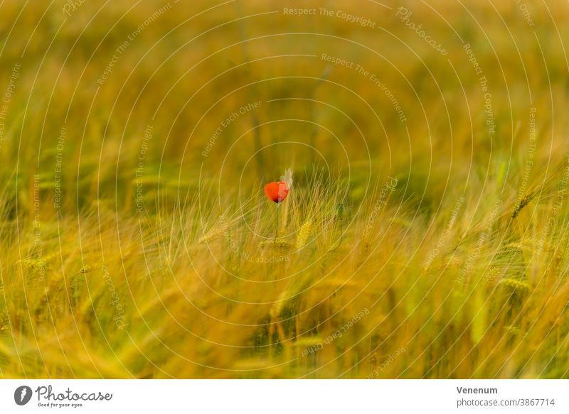 Eine einzelne Mohnblume in einem Kornfeld mit einem schönen weichem Bokeh grün Ähren Deutschland luckenwalde Feld Getreidefelder Ackerbau Landwirtschaft