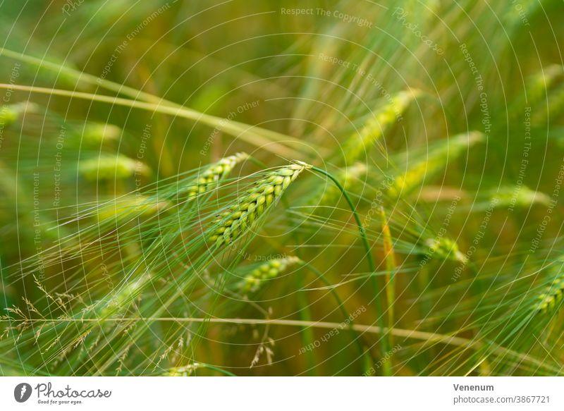 Getreideähren im Sommer im Land Brandenburg Müsli grün Ähren Deutschland luckenwalde Feld Getreidefelder Ackerbau Landwirtschaft Agronomie Agrarsektor