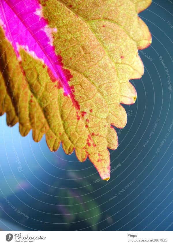 Blatt der Buntnessel Zimmerpflanze Muster Farbigkeit Spiegelung strauch Botanik Blattadern purpur Zierpflanze Blattspitze Unschärfe lindgrün