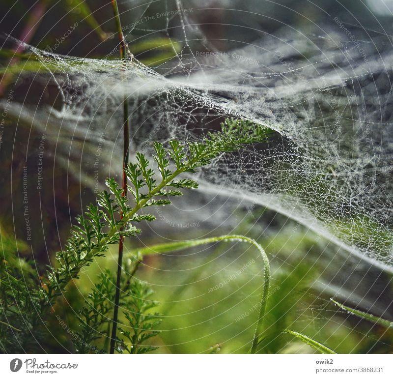 Überzogen Spinnfäden Vernetzung Grünpflanze Farbfoto Schwache Tiefenschärfe Detailaufnahme Nahaufnahme Außenaufnahme Umwelt Natur Pflanze Wassertropfen