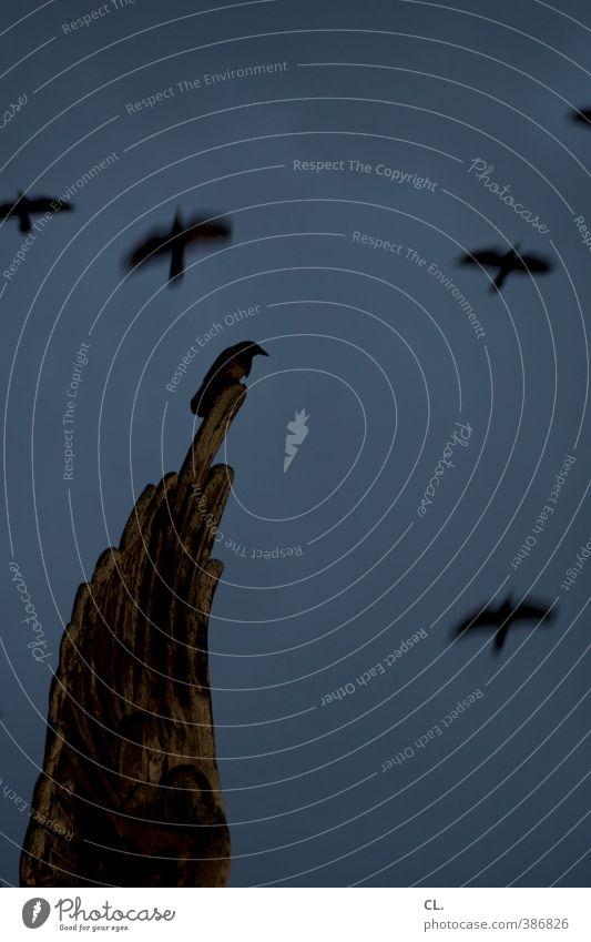 rabe Himmel blau ruhig Tier dunkel Herbst Traurigkeit Freiheit Vogel fliegen Angst Wildtier Kirche Tiergruppe bedrohlich Flügel