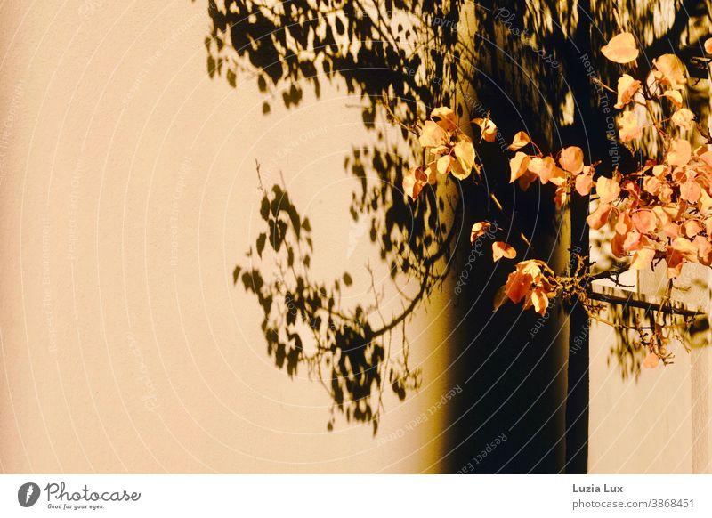 Goldener Herbst: einige Äste im Herbstlaub mit ihrem Schatten an der gegenüberliegenden Hauswand, dazu goldnes Sonnenlicht Laub Licht Außenaufnahme