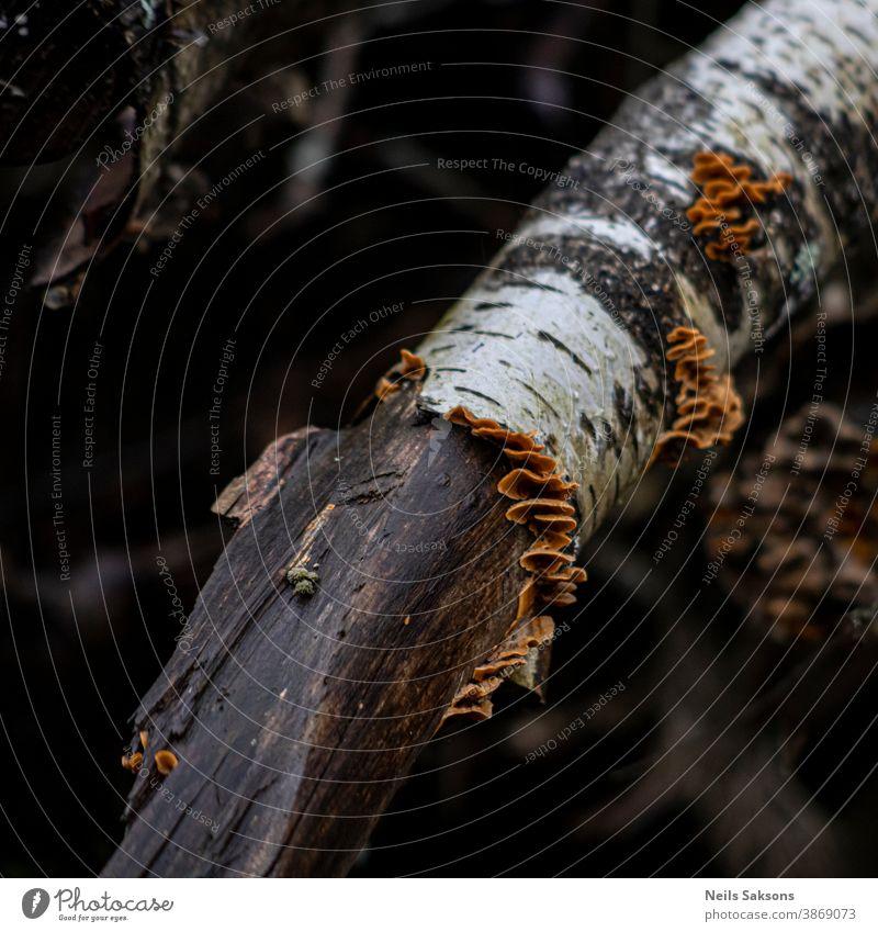 Pilze auf gebrochenem Birkenzweig Ackerbau Herbst herbstlich Hintergrund schön Schönheit Biologie botanisch braun Nahaufnahme kultiviert Ökologie Umwelt geblümt