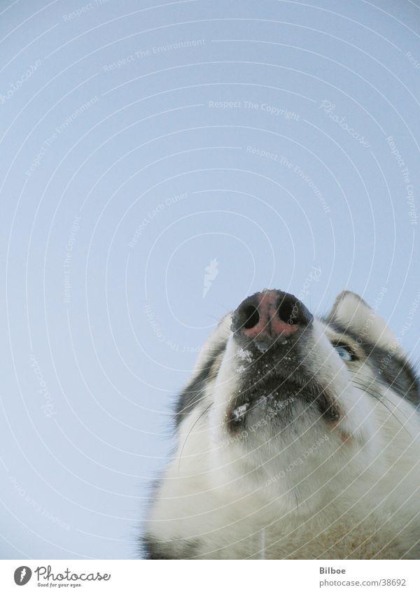 wildesHaustier Hund Husky Schnauze Winter Fell Siberian Schnee Auge blau Blick Himmel
